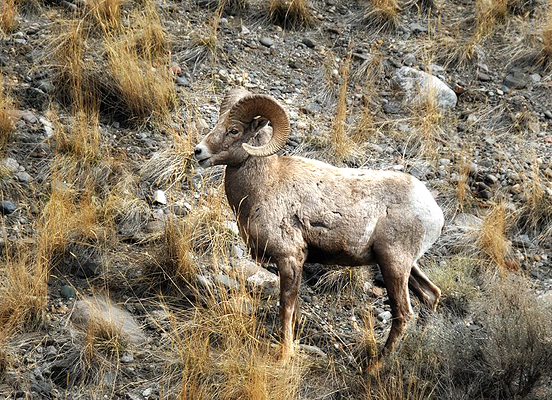 Bighorn Sheep in Gardiner, Montana
