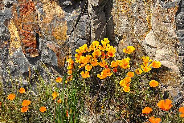 Wild poppies along the side of the road.