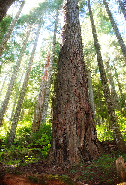 Through old growth forests...