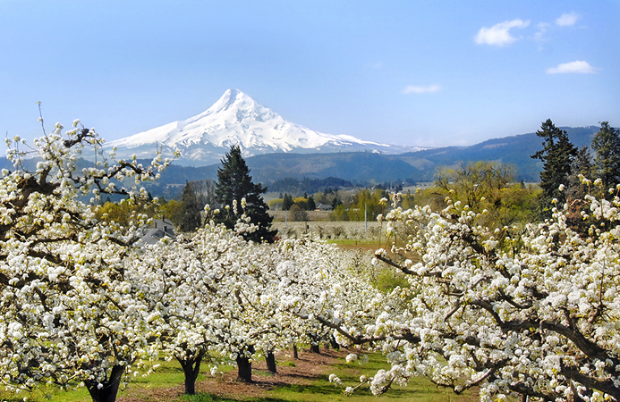 A view of the apple orchards with Mt. Hood in the background.