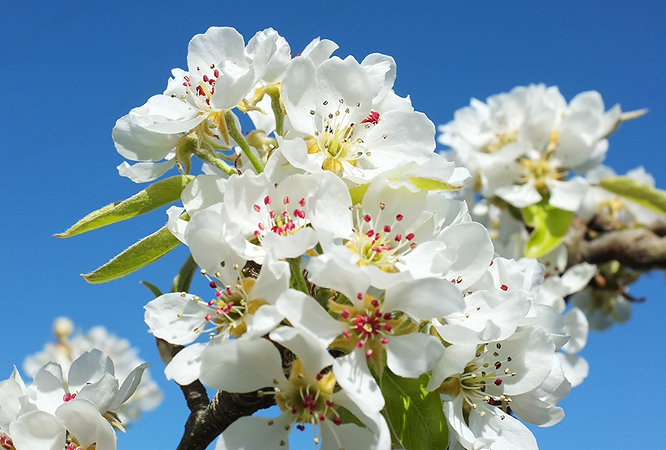 Lacy apple blossoms...