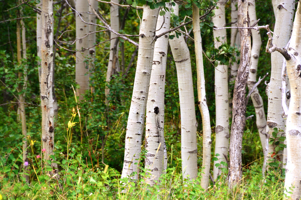 It's a treat to hike through aspen groves as it's not something we see in Oregon.