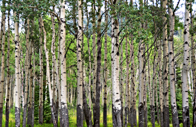 Love the aspen trees…one thing Oregon is missing!