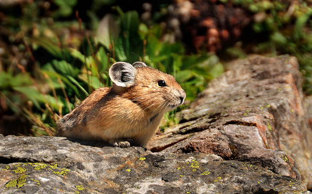 The elusive pika…hoping to share my cliff bar with me.
