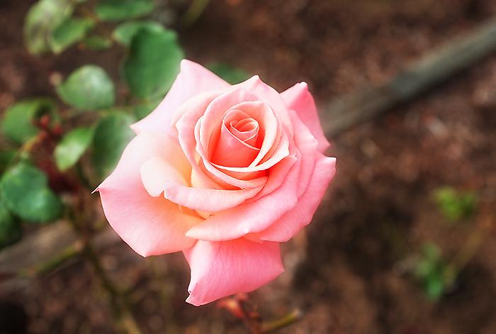 A pretty little rose garden near the fort