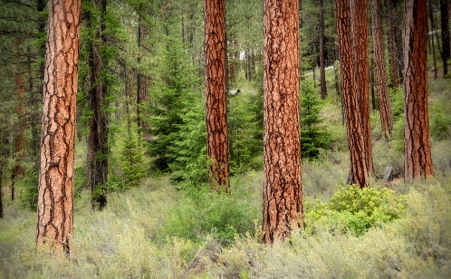 We love walking through the giant ponderosa pines